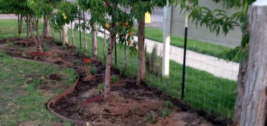 Beneficial companion planting in beds under fruit trees.
